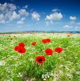 观点的红色鸦片在夏天乡下 免版税库存照片