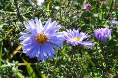 观点的美丽的紫色野花在春天或夏天 免版税库存照片