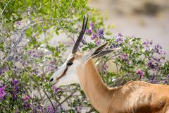 观点的美好的关闭的与站立在灌木附近的长的垫铁的一只跳羚羚羊在埃托沙国家公园 库存照片