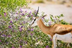观点的美好的关闭的与站立在灌木附近的长的垫铁的一只跳羚羚羊在埃托沙国家公园 库存图片