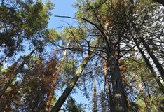 观点的高绿色杉木在森林里 免版税库存照片