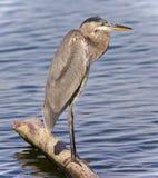 观看一个的伟大蓝色的苍鹭的巢的图象某处 免版税图库摄影