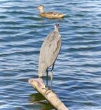 观看一个的伟大蓝色的苍鹭的巢的图象某处 免版税库存图片