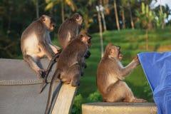 观看一块毛巾的一个小组滑稽的猴子在巴厘岛,印度尼西亚 免版税库存照片