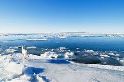 观看与在天鹅群的冰的白色狗  免版税库存照片
