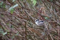 观看从丛林的长尾的山雀 库存图片