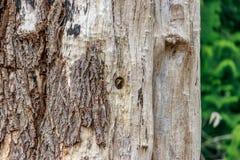 观看从树的小啄木鸟的小面孔 库存图片