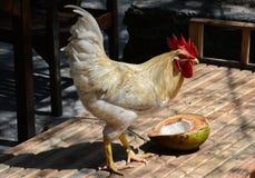 观看他的椰子的强的白色雄鸡 免版税库存图片