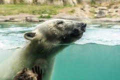 观看北极熊熊属类maritimus游泳的小男孩 图库摄影