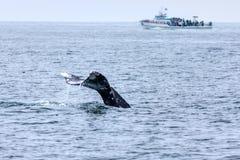 观看在南加州的鲸鱼 库存照片