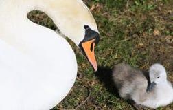 观看在她微小的三天的老小天鹅的母疣鼻天鹅 免版税库存图片