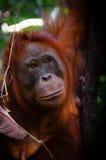 观看在婆罗洲印度尼西亚的渔郎Utan女性面孔 免版税库存图片