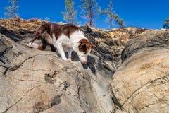观看在岩石的机敏的博德牧羊犬一只蜥蜴 库存图片