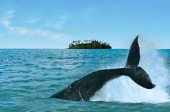 观看在拉罗通加库克群岛的鲸鱼 免版税库存照片