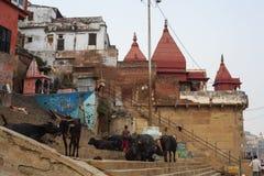 观看在最旧的城市的街道上的印地安牧羊人母牛在世界上 图库摄影