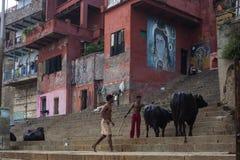 观看在最旧的城市的街道上的印地安牧羊人母牛 免版税图库摄影