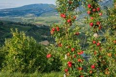 观看在特伦托自治省女低音下阿迪杰,意大利田园诗葡萄园和果树园  特伦托自治省南蒂罗尔 在前景typica 免版税库存图片