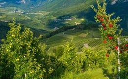 观看在特伦托自治省女低音下阿迪杰,意大利田园诗葡萄园和果树园  特伦托自治省南蒂罗尔 在前景typica 免版税库存照片