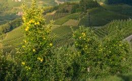 观看在特伦托自治省女低音下阿迪杰,意大利田园诗葡萄园和果树园  特伦托自治省南蒂罗尔 在前景typica 库存图片