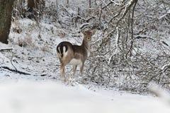 观看在白色多雪的森林里的小鹿牧群在冬天 库存照片