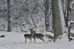 观看在白色多雪的森林里的小鹿牧群在冬天 免版税库存照片