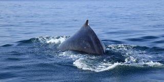 观看在巴亚尔塔港的鲸鱼 免版税库存图片