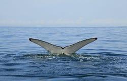 观看在巴亚尔塔港的鲸鱼 库存照片