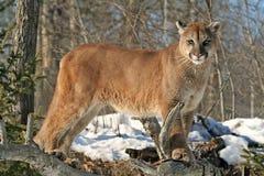 观看在他的疆土的美洲狮 免版税库存照片