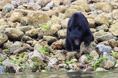 观看在Ucluelet, 3温哥华岛,不列颠哥伦比亚省,加拿大的黑熊 免版税库存照片