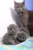 观看她的小猫的英国Shorthair母亲 图库摄影