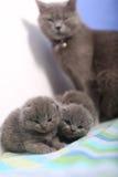 观看她的小猫的英国Shorthair母亲 库存照片