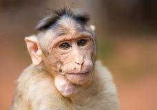 观看帽子的短尾猿mischieviously 库存照片