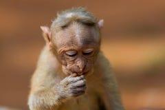 观看帽子的短尾猿mischieviously 免版税图库摄影