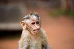 观看帽子的短尾猿mischieviously 免版税库存照片