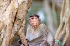 观看帽子的短尾猿mischieviously 库存图片