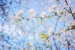 观看开花的樱桃树分支  免版税库存照片