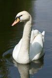 观看您的白色天鹅! 库存照片