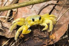 观看您的黄色螃蟹 免版税库存照片