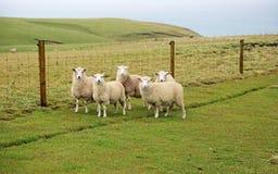 观看我的五只绵羊 免版税库存图片