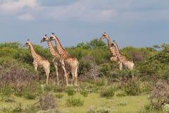 观看某事的五头长颈鹿 免版税库存照片