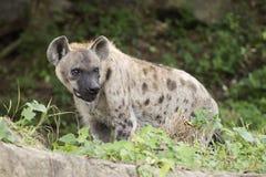 观看某事的被察觉的鬣狗 库存照片
