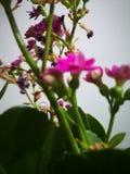观看桃红色花的一个特别看法 库存照片