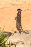 观看的海岛猫鼬类(meerkat) 免版税图库摄影