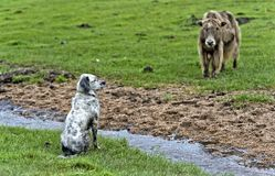 观看的看家狗和牦牛 免版税库存照片