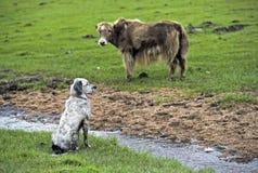观看的看家狗和牦牛 免版税库存图片