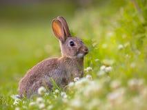 观看的野生欧洲的兔子 库存图片