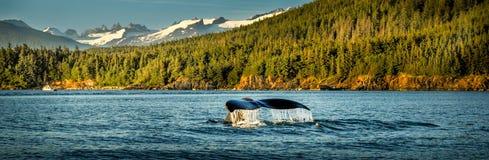 观看的鲸鱼潜水和游泳在阿拉斯加 免版税库存图片