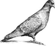 观看的鸽子 免版税库存照片