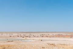 观看羚羊属、跳羚、驼鸟和Burchells斑马的雌狮 免版税库存图片