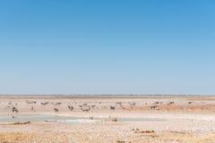 观看羚羊属、跳羚和Burchells斑马的雌狮 免版税图库摄影
